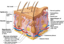 Integumentary system diagram of human body