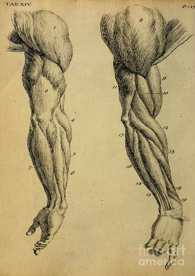 Human upper extremity muscle diagram