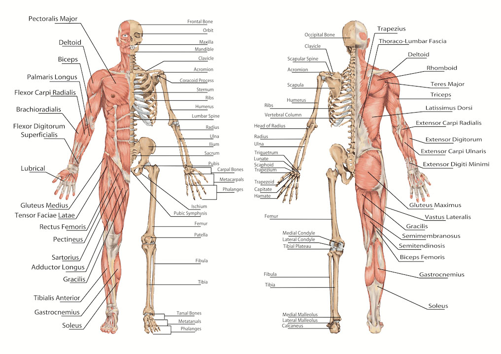 Human muscle and skeleton anterior view and posterior view medical terminology