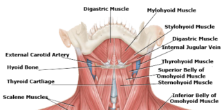 Human neck muscles anatomy anterior view