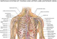 Nervous system of the thorax and upper limb anterior view diagram