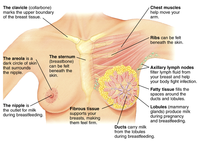 Woman breast anatomical structure introduction anterior view