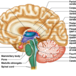 Ventricle in the human brain