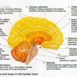 Structures and areas in the human brain diagram
