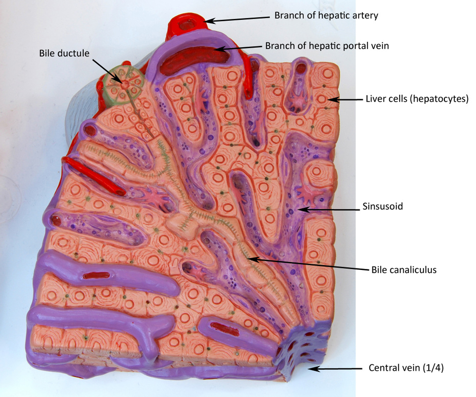Liver sectional view