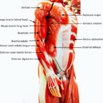 Human muscle model diagram