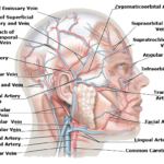 Human head artery and vein supplement lateral view