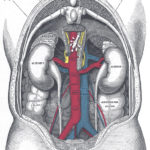 Human anatomy back view of the urinary system
