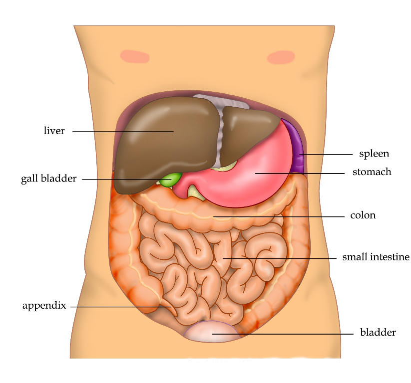 Bladder location in the human body