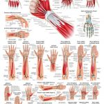 The muscles of the human hand