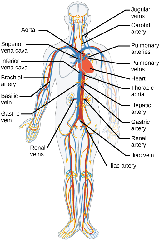 Human artery and vein circulation anatomical structure