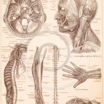 Vintage illustration of human anatomy from Meyers Konversations