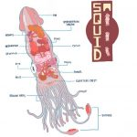 Squid internal organs diagram