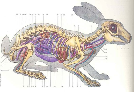 Rabbit internal organ anatomy and skeleton anatomy