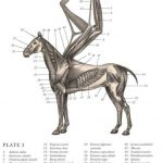 Pegasus skeleton anatomy