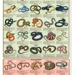 North American snakes of different types