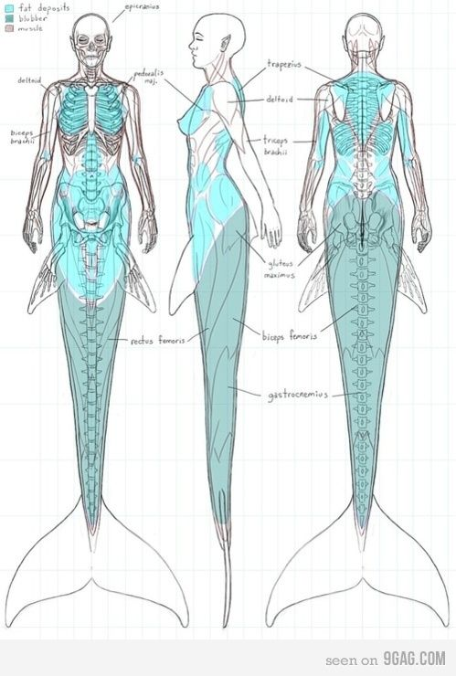 Mermaid skeleton anterior lateral and posterior view