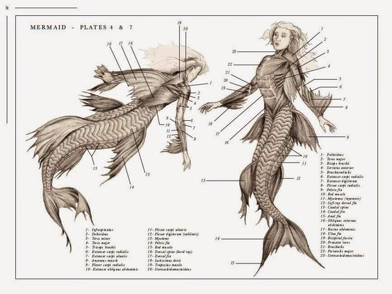 Mermaid muscle anatomy