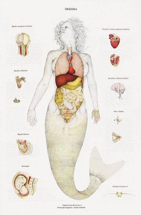 Mermaid Ondina internal organs structure