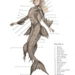Mermaid anatomy external view