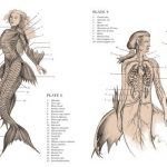 Mermaid anatomy and internal organs structure