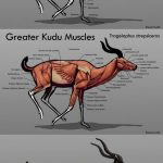 Greater kudu skeleton anatomy, muscles anatomy and external view Tragelaphus strepsiceros