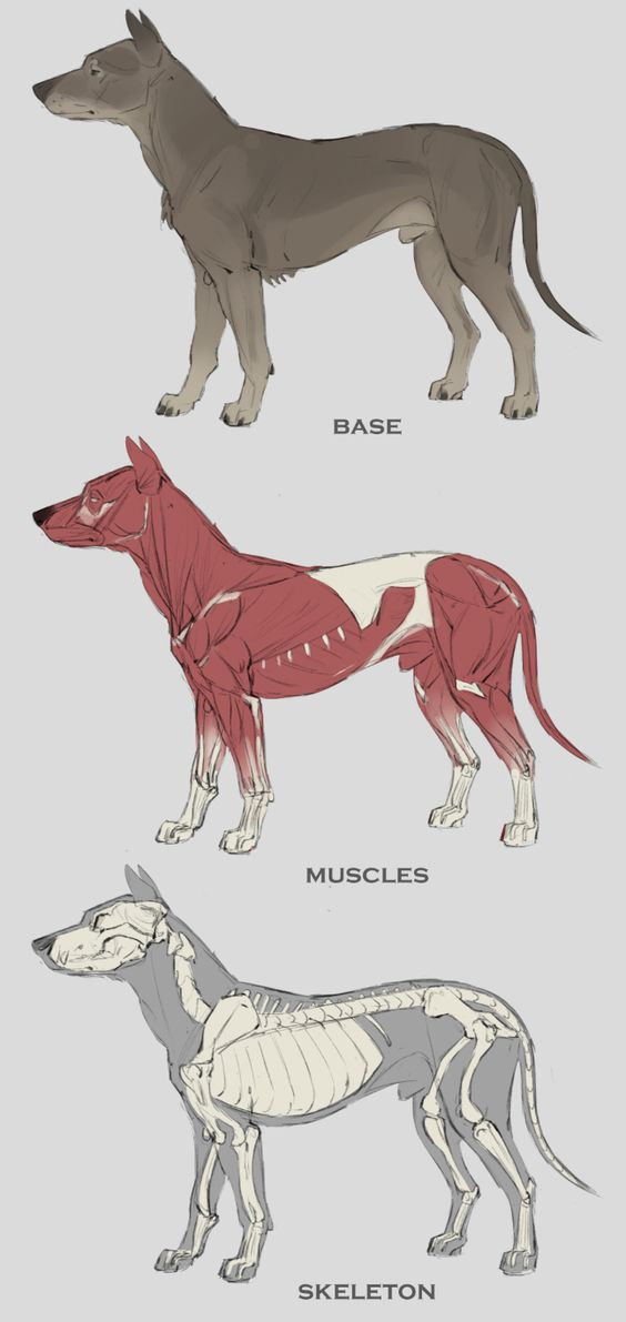 Dog skeleton, muscle anatomy, and external view