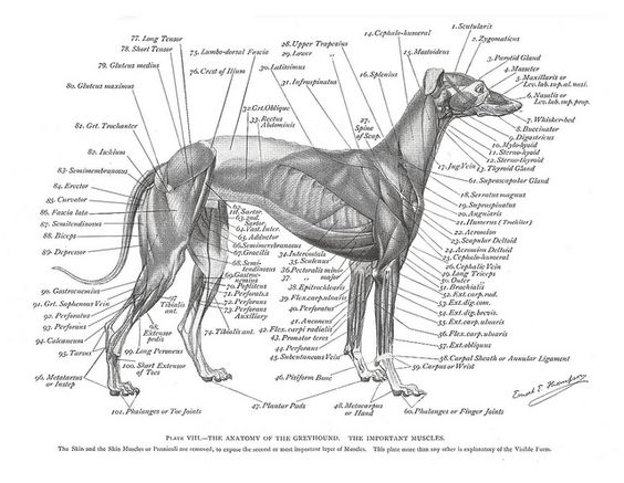 Dog muscle anatomy gross view