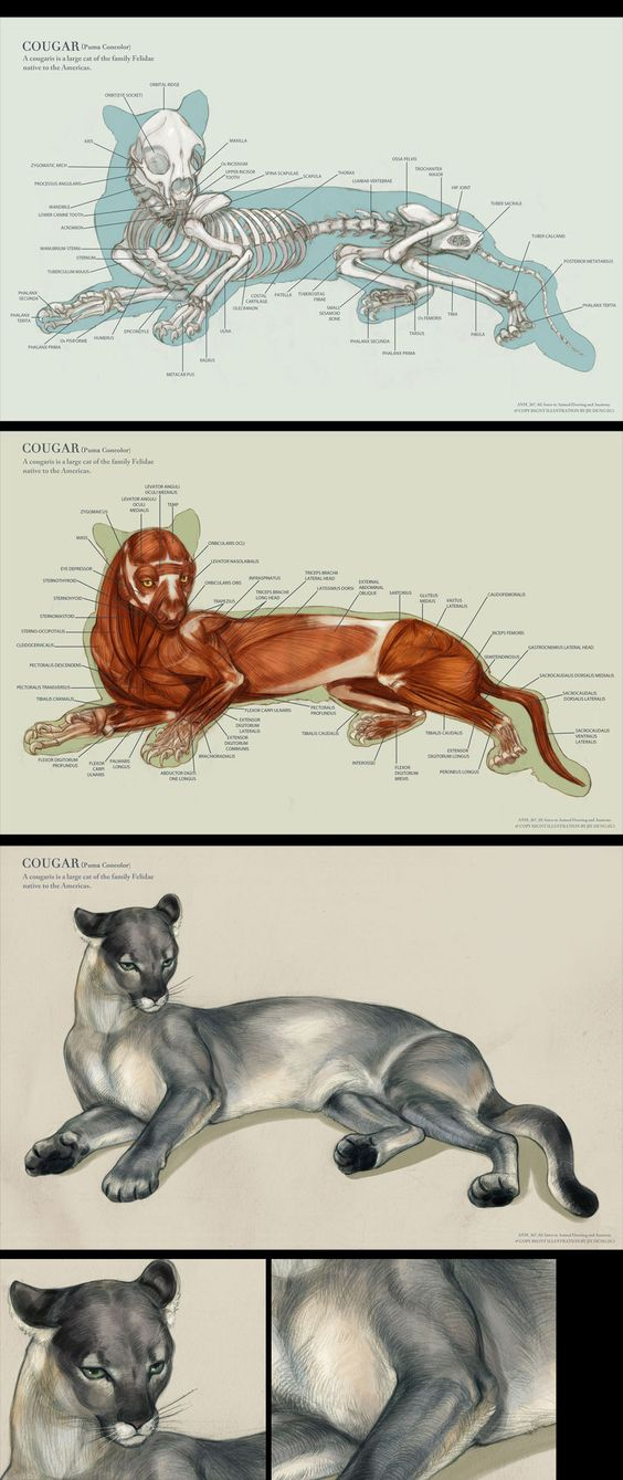 Cougar Muscles Anatomy, Skeleton Anatomy, And External View