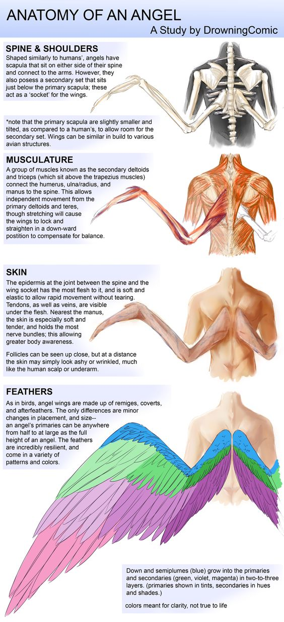 Angel Wing Anatomy