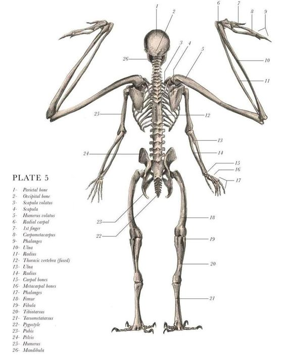 Angel Skeleton Anatomy Posterior View