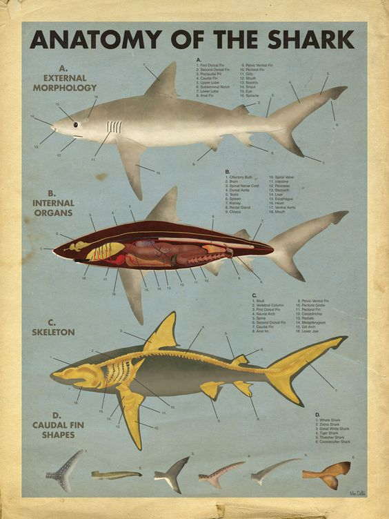 Anatomy Of The Shark External View, Muscles, And Skeleton Diagram