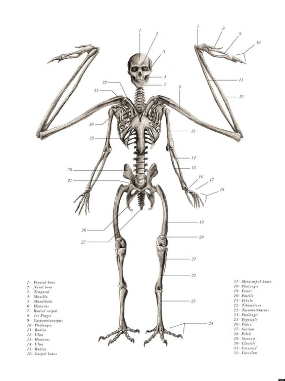 Angel Skeleton Anatomy Anterior View