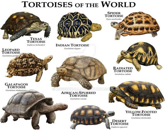 Tortoises Of The World