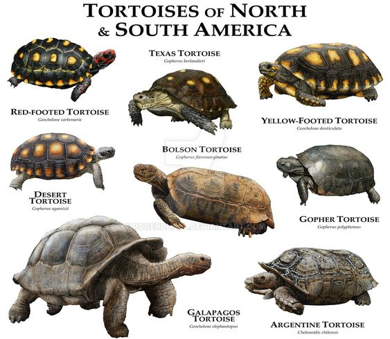 Tortoises Of North America And South America