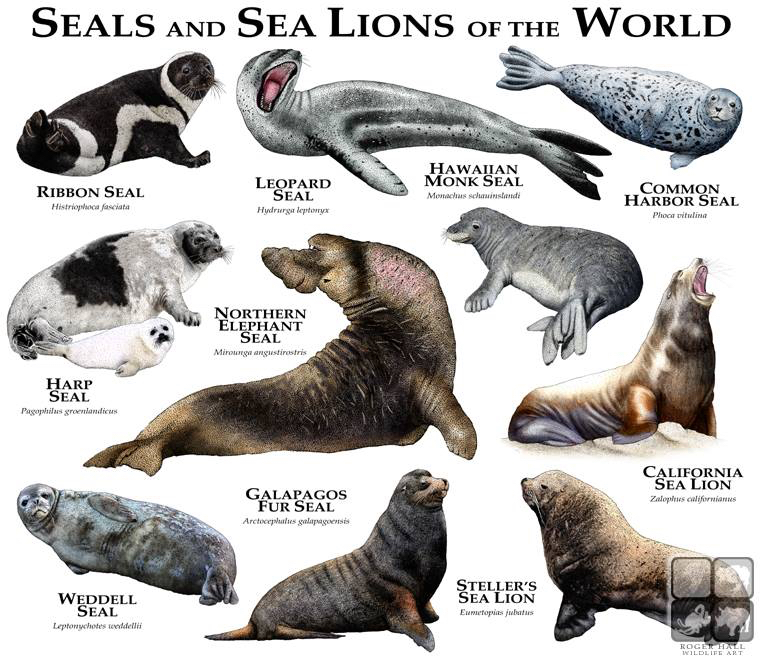 Seals And Sea Lions Types Of The World