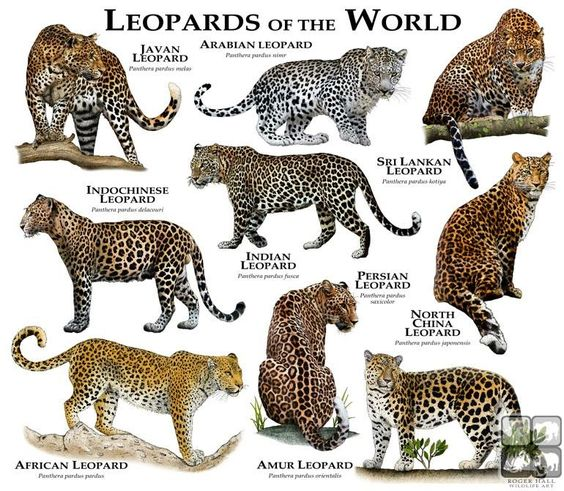 Leopards Of The World