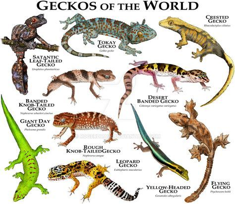 Geckos Of The World