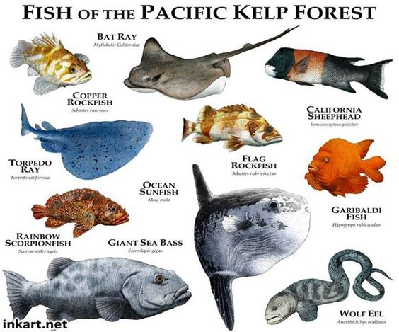 Fish Of The Pacific Kelp Forest