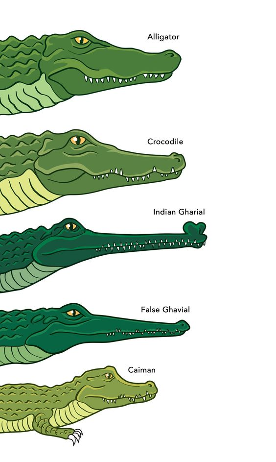 Different Types Of Crocodiles