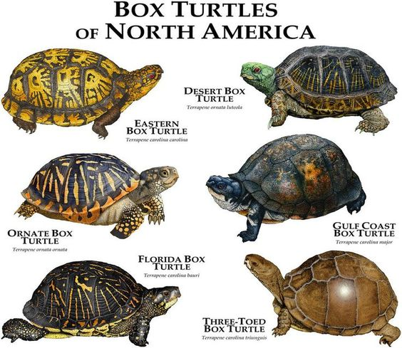 Box Turtles Of North America