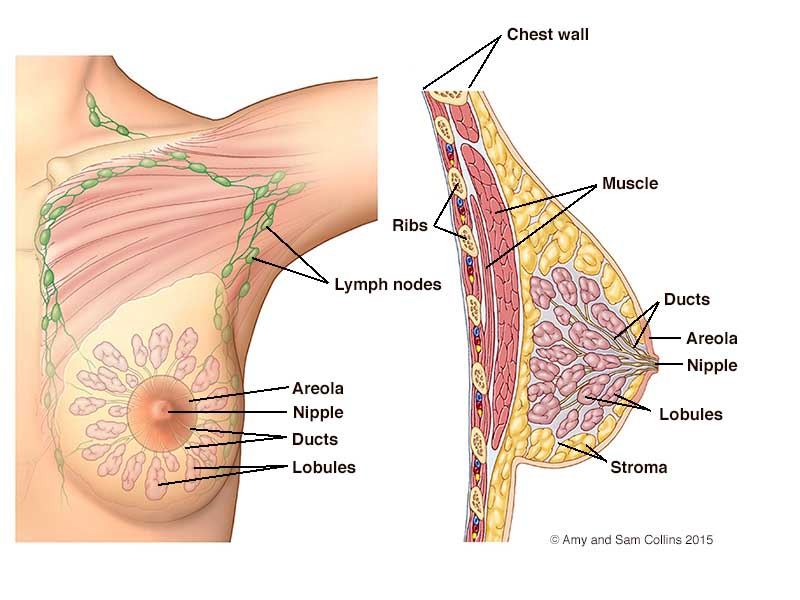 Nipple Anatomy