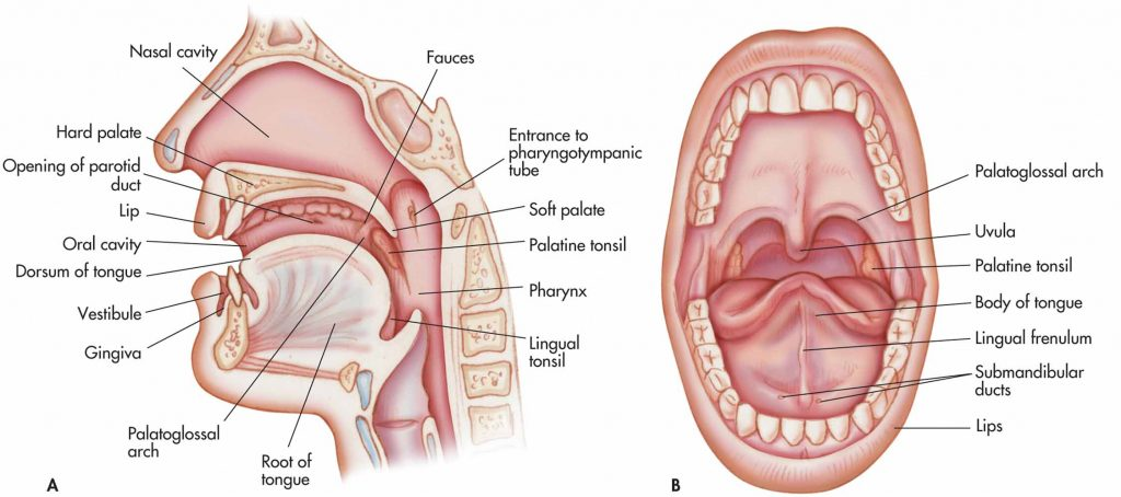 Oral cavity anterior view and lateral view