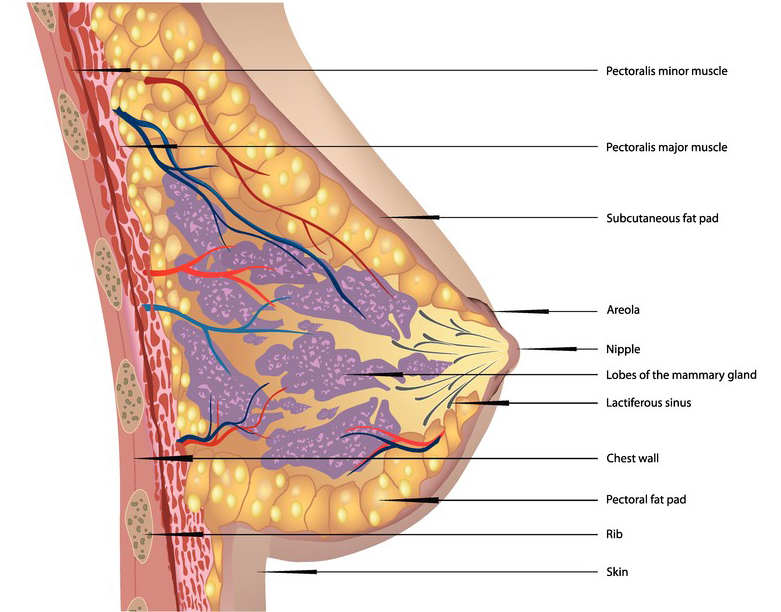 Human Breast Anatomy Sectional View