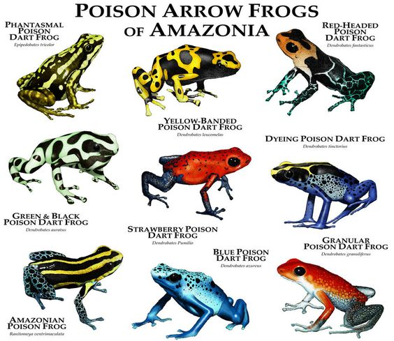 Poison Arrow Frogs Of Amazonia