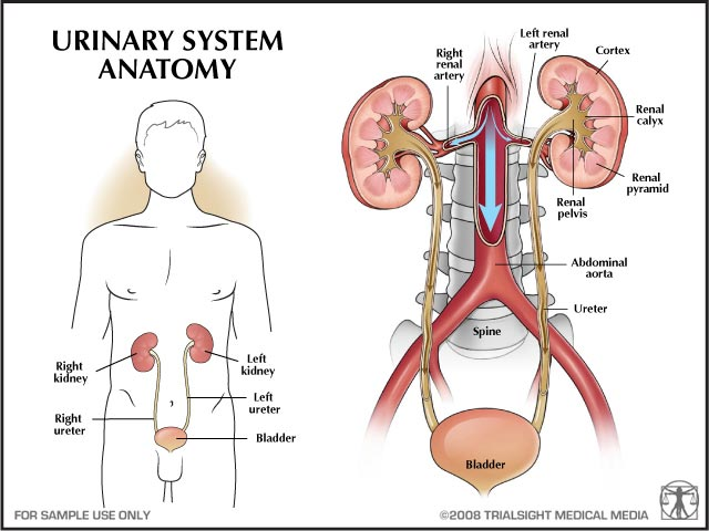 Urinary System Anatomy In Human Body
