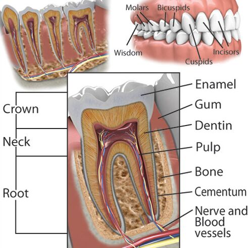 Tooth Anatomical Structure