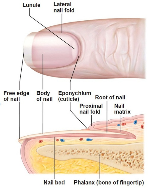 Human Nail Finger Anatomy External View And The Sectional View