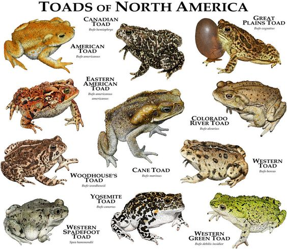 Toads Of North America