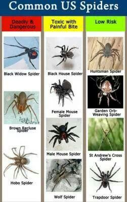 Common Us Spiders Types